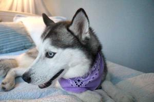 Meet Luna the Siberian Husky!