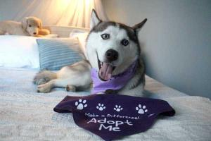 Luna the 2 year old Siberian Husky is ready for adoption in the Greater Philly area.