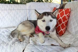 Luna the Husky is a sweet 2 year old female looking for her forever home.