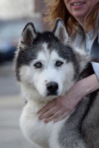 Meet Phoebe - one of Arctic Spirit Rescue's permanent residents.