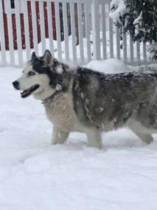 Phoebe - 12 year old female Siberian Husky.