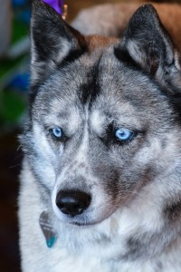 This cattle dog/husky mix has a pair of the most beautiful blue eyes!