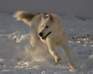 Jake is a stunning white Siberian Husky available for adoption.