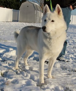 Jake is a 7 year old Siberian Husky available for adoption.