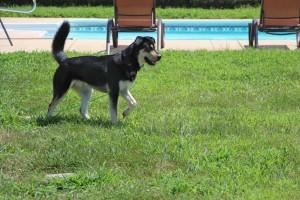 Kato's an alert siberian husky mix.