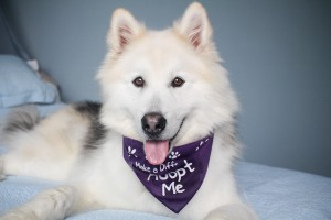 Nanuk, the fluffy male Malamute is ready for his forever home!