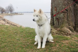 Meet Nanuk, the Alaskan Malamute!