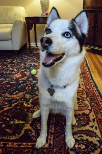 Perrie is a young husky ready for adoption!